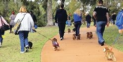 Some of the 150 dachshunds that marched on Piney Lakes Reserve to help promote the search for Rupert.