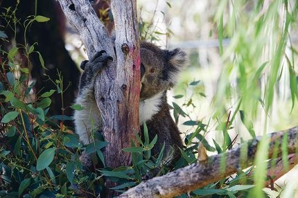 Koalas at Yanchep National Park. Picture: Emma Reeves www.communitypix.com.au d404988