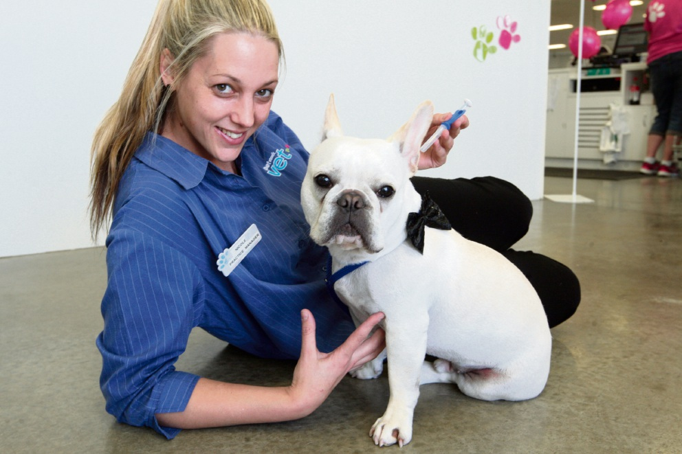 What: Vet practice manager Nicole White prepares to microchip her French bulldog Alvin. Picture: Bruce Hunt