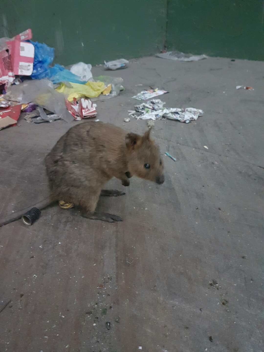 The quokka in question.  Picture: Regional Resource Recovery Centre.