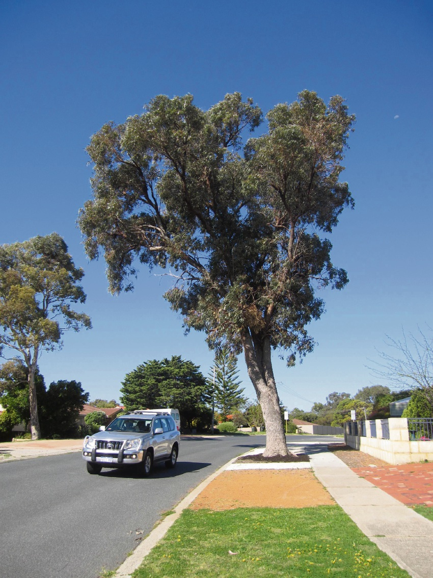 Eucalyptus gomphocephala on Carridean Street in Heathridge.