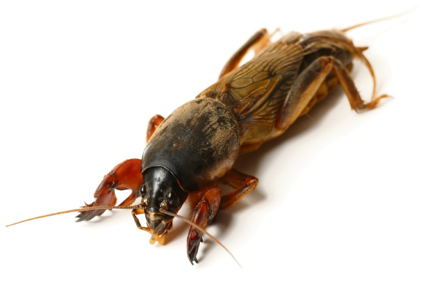 how to find mole crickets