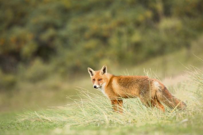 Fox cull begins at Marangaroo Conservation Reserve
