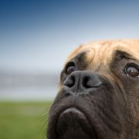 A bull mastiff.  Photo: iStock