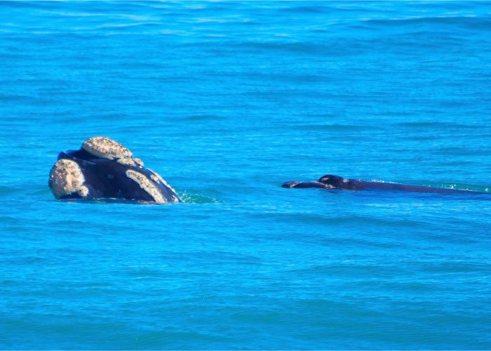 The Southern Right whales at Marmion Marine Park. Picture: Douglas Coughran