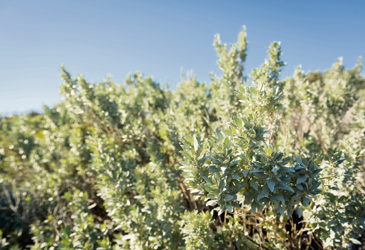 Saltbush could play a vital role in the fight against climate change.
