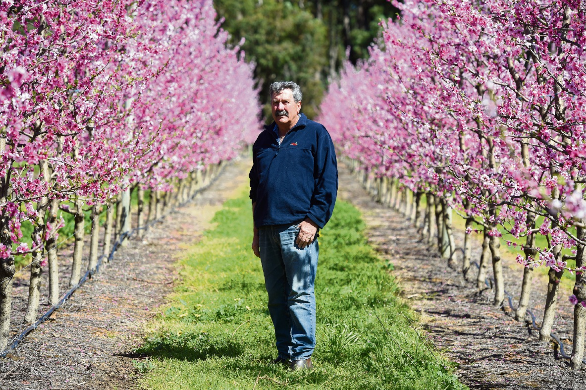HOIG President Bruno DelSimone amid the blossoms of his Karragullen orchard. Picture: Jon Hewson d473905