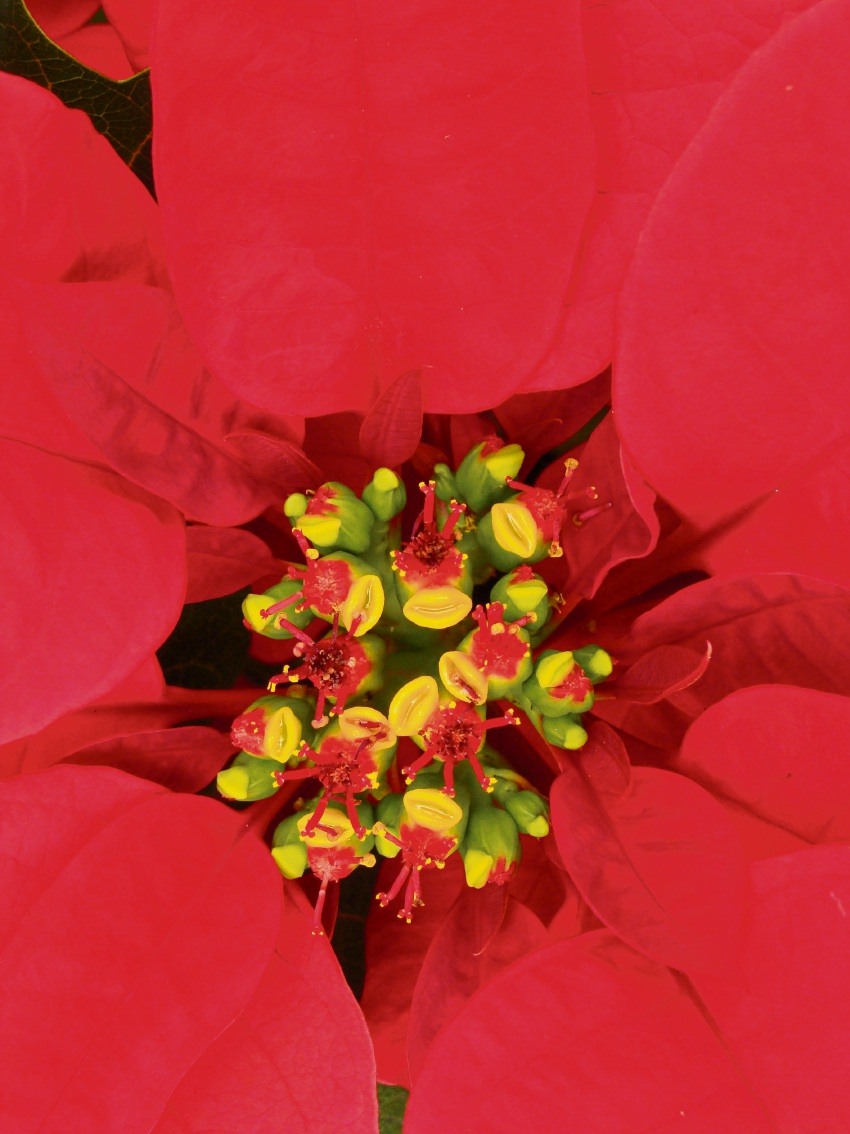 Poinsettia add splash of colour and festive cheer at Christmas