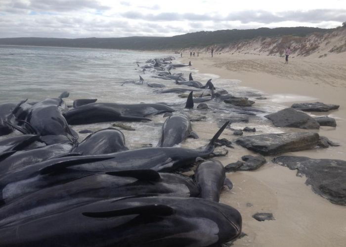 Only 15 short-finned pilot whales survive after 150 beach near Augusta