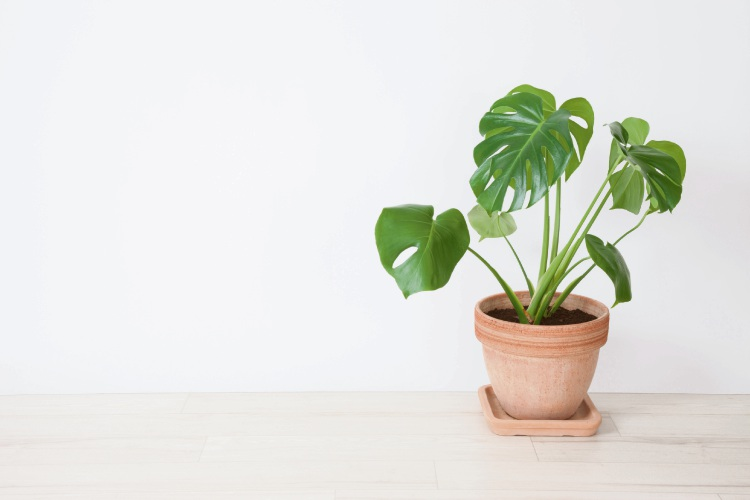 monstera deliciosa houseplant.