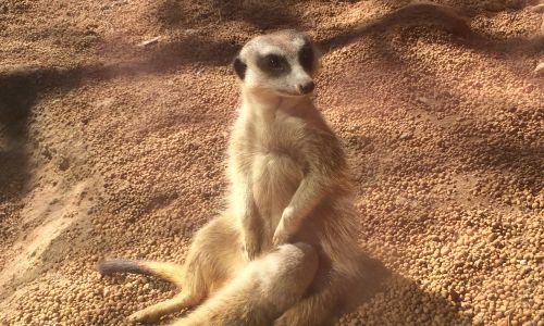 The meerkitten with its mother hours before it was stolen. Pic Tara Newbury