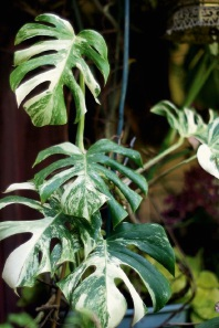 Variegated Monstera Deliciosa & Thai Constellation