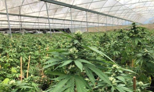 Almost 4000 cannabis plants seized in WA drugs raid