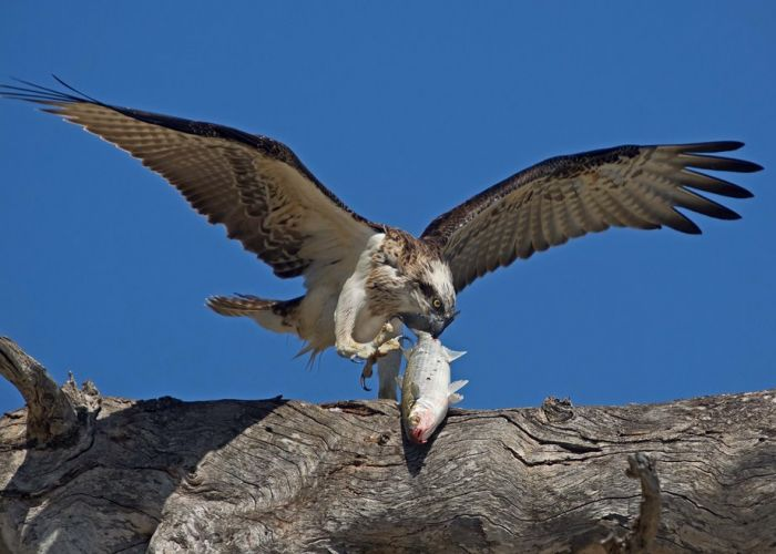 Increased opportunities to hunt mullet (pictured) could be adding to the ospreys' success. Photo: Chris Tate