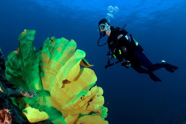 elephant-ear-coral.jpg