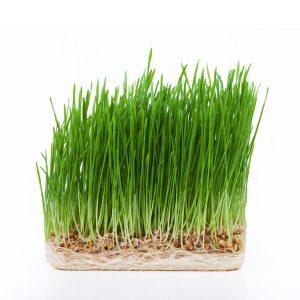 wheatgrass-fresh-hydroponically-grown