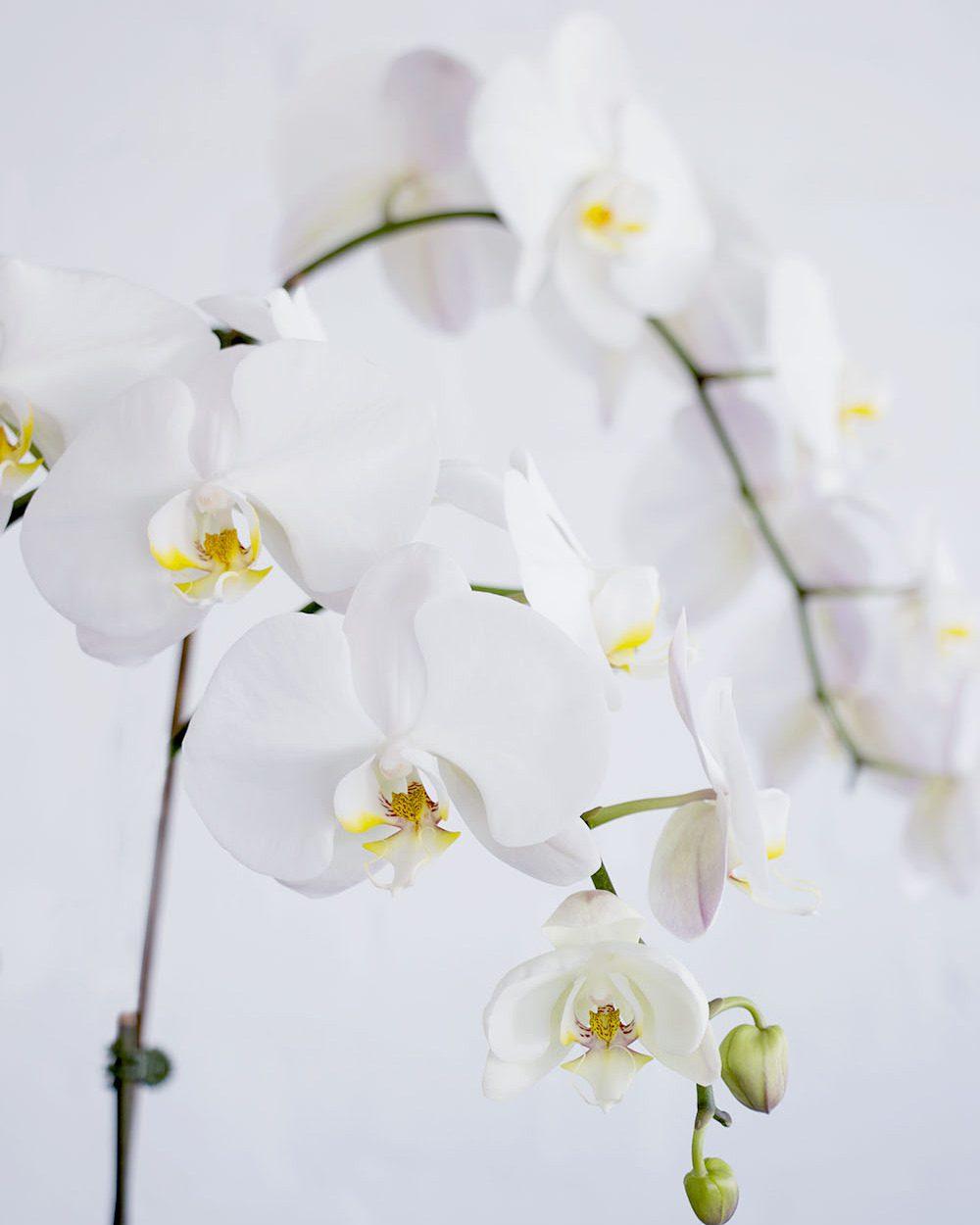 Orchids-Medium-Close