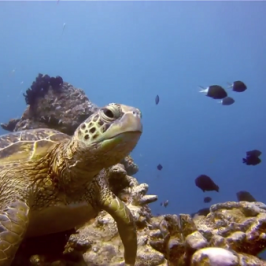 Coast Australia S3 Ep5: Bonus Footage – Sea Turtle