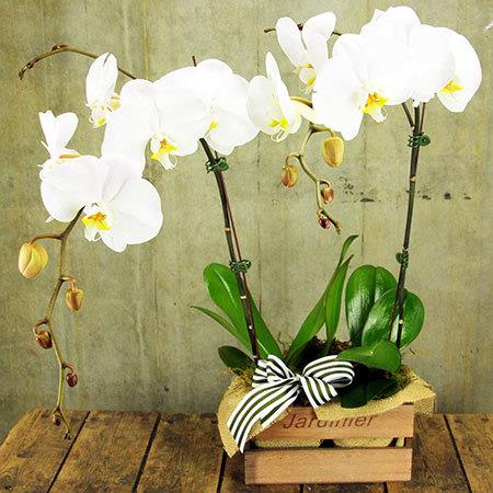 L`Orchidee White (Sydney Only)
