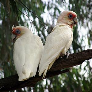 Birds twheller 300