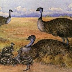 Kawir emu025