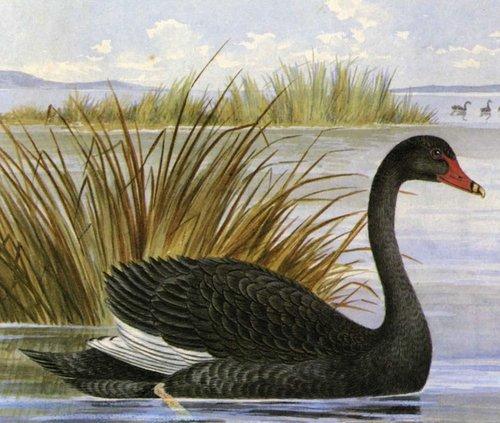 Kunawar black swan024