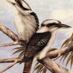 Kurng kurng kookaburra028