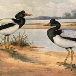 Ngakak magpie goose021 720