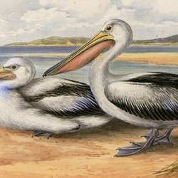 Nyan kurk pelican020 720