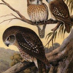 Wuk wuk boobook owl032 720