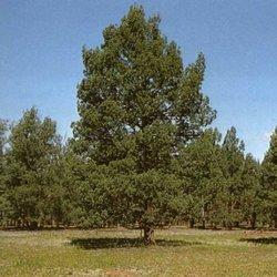 Marrung murray pine005