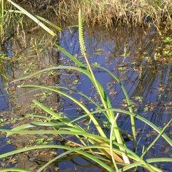Water ribbon   cycnogeton procerum