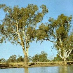 Piyal redgum tree004