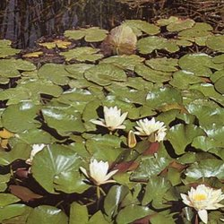 Wityerrum water lily019