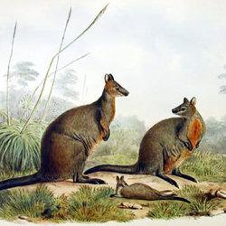 Kama swampwallaby b cpd