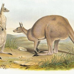 Kurre grey kangaroo cpd