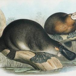 Mapiyal platypus cpd
