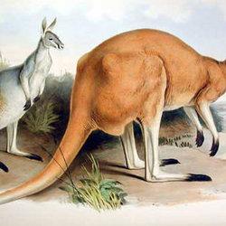 Parra red kangaroo cpd