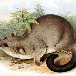 Wile brushtailpossum cpd