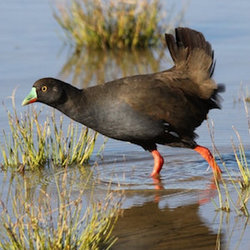 Karrurrayi blacktailed waterhen alfacton