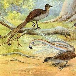 Pulerrn pulerrn lyrebird 300