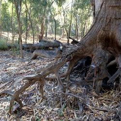 Purr%c9%99mbang tree root 500