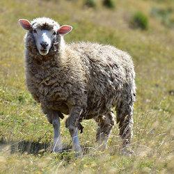 Sheep tyamb%c9%99k