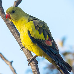 Regentparrot davidcook flickr cc