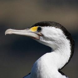 Piedcormorant bernardspragg flickr pd