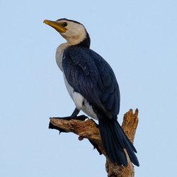 Littlepiedcormorant geofwhalan flickr cc