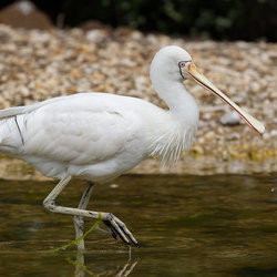 Yellowbilledspoonbill kazredracer flickrcc