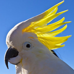 Sulphurcrestedcockatoo michaeldawes flickr cc