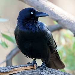 Australianraven davidcook flickr cc