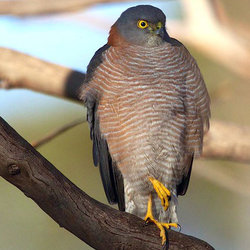 Collaredsparrowhawk julieburgher flickr cc